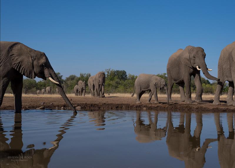African Elephant, Mashatu GR, Botswana, May 2017-15.jpg