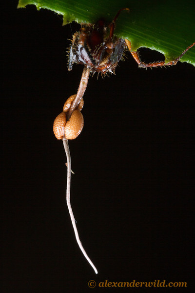 An Ophiocordyceps fungus grows from the neck of a Camponotus carpenter ant it has killed.