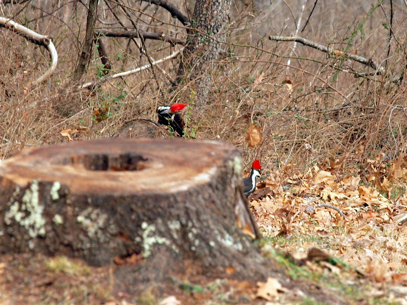 Pileated Woodpecker-012.JPG