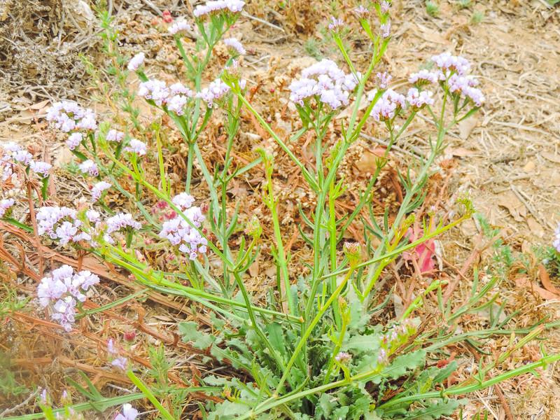 Sea-lavender (Limonium sinuatum) PLUMBAGINACEAE