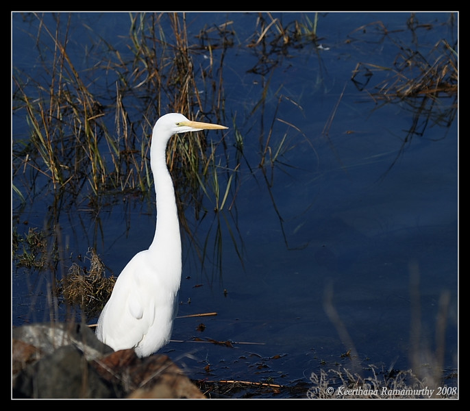 Great Egret, Robb Field, San Diego County, California, December 2008