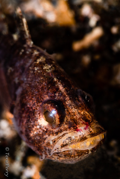 FISH - cardinalfish male with eggs in mouth-0472-Edit.jpg