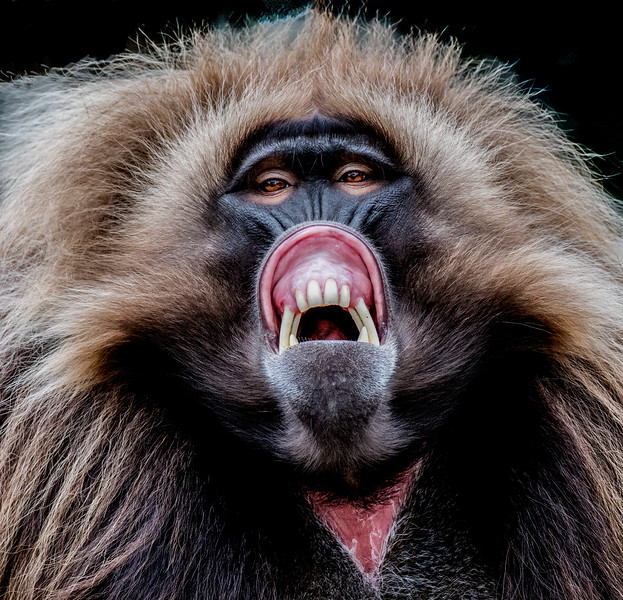 Face close-up of a Gelada in aggressive posture