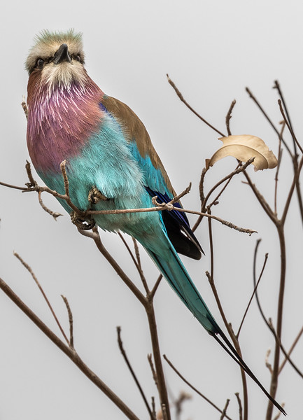 Lilac Breasted Roller-7160.jpg