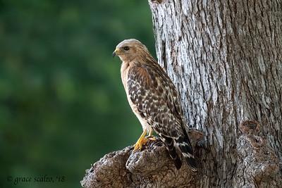 Red-shouldered hawks