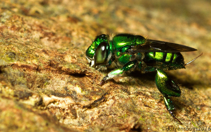 Orchid bee, Euglossa sp., from Panama.