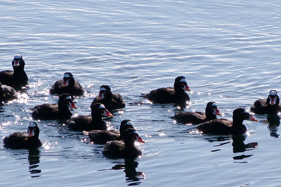 Surf Scoters on Sparkling Waters March 2015, Cynthia Meyer, Tenakee Springs, Alaska P1470021