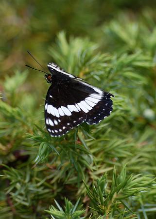 Colorado Butterflies