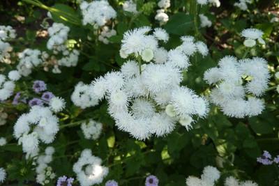 Ageratum houstonianum 'Weisser Schnitt' 3.jpg