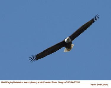 Bald Eagle A23701.jpg