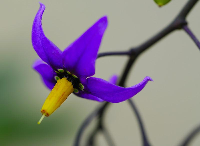 Maine Wild Flower.jpg