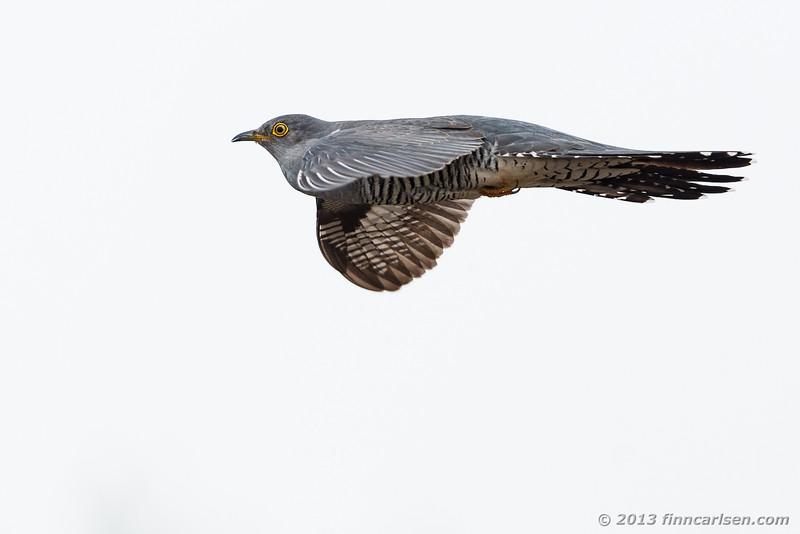 Gøg (Cuculus canorus - Cuckoo)