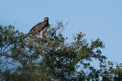 Martial Eagle (Polemaetus bellicosus) VU