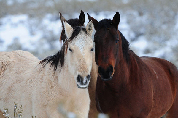 Wild- Horses