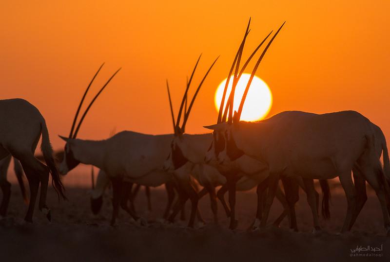 Arabian Oryx (4).jpg