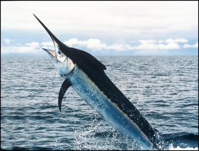 conservation-organizations-back-billfish-conservation-act