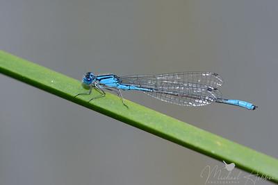 Azure Bluet (Enallagma aspersum)