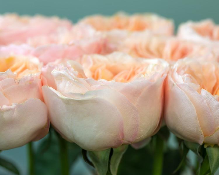 juliet-roses-02.jpg
