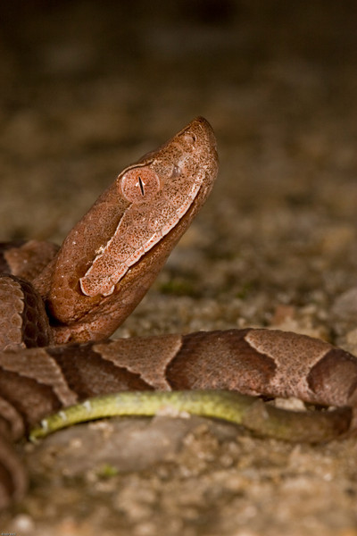 Young Copperhead