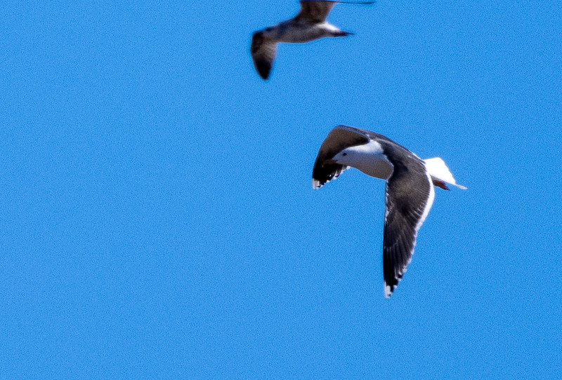 Great Black-backed Gull adult Superior Landfill Wisconsin Point Superior WI  IMGC5471.jpg