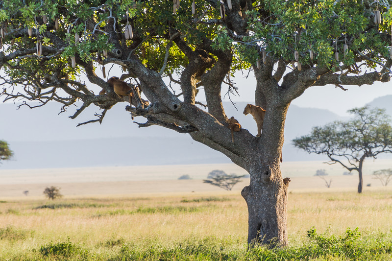 Lions sitting on branch - East Africa - Tanzania