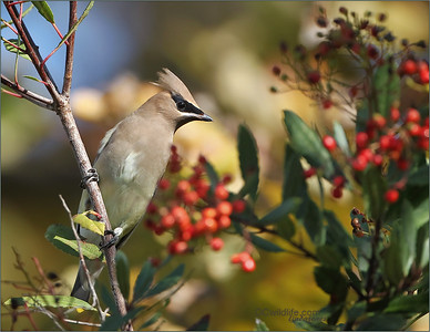 December Migratory Birds, Harris Hawk, Cedar Waxwings, Cactus Wren, and winter wildlife