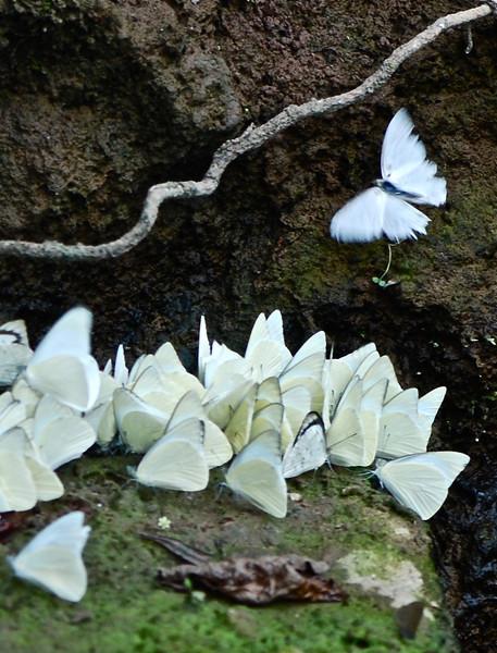 Pieridae Butterflies