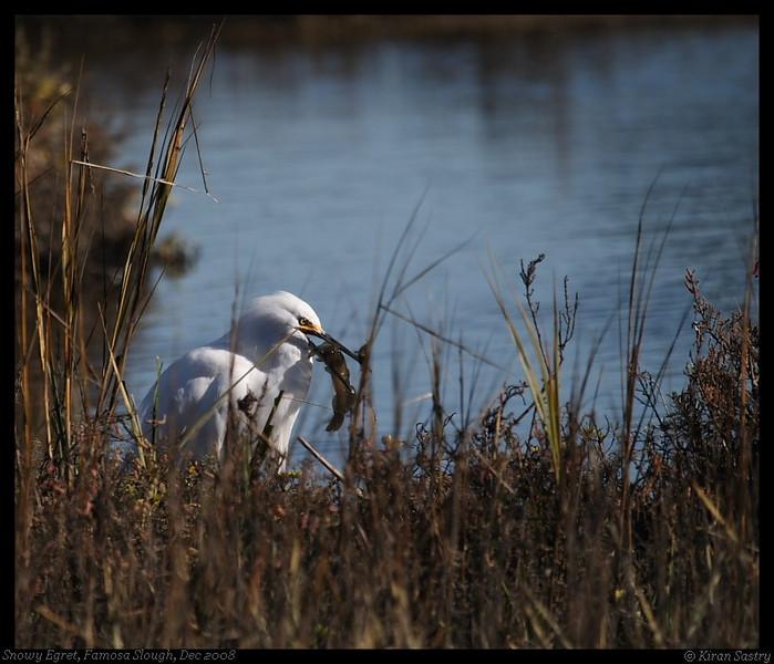 Snowy Egret, Famosa Slough, San Diego County, California, December 2008