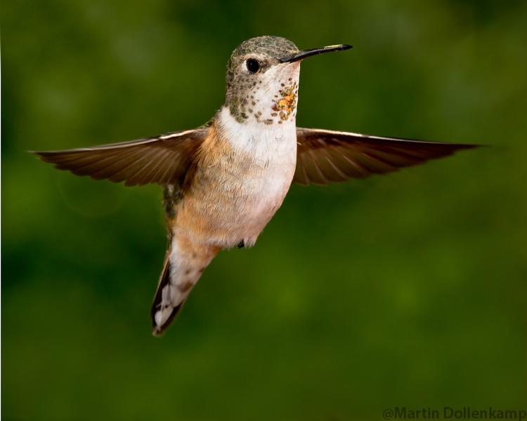 Rufous Hummingbird Selasphorus rufous