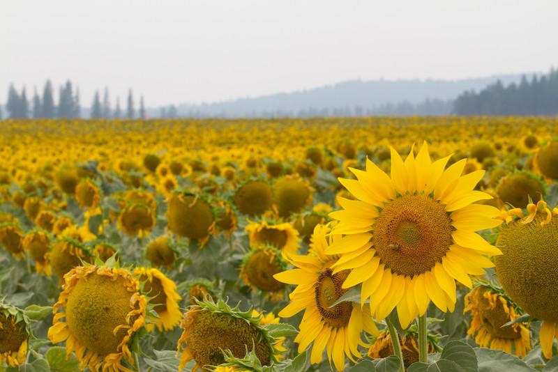 sun flowers-3890.jpg