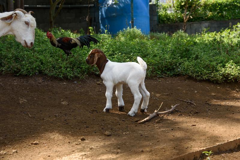 Un bébé cabri et sa maman