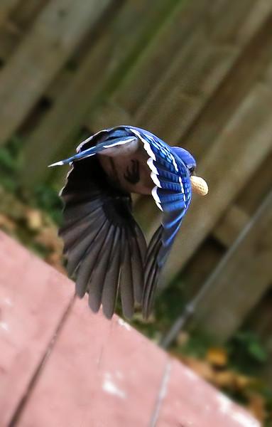 BlueJay5.jpg