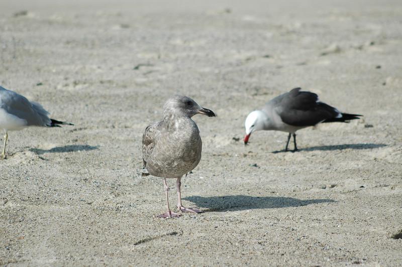 gulls (17).JPG
