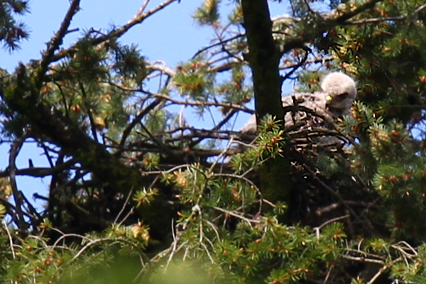 May 23, 2012  The chicks do a lot of standing on the edge of the nest looking for mom and dad.....who are away from the nest for much longer blocks of time now. I saw them hunting together today.