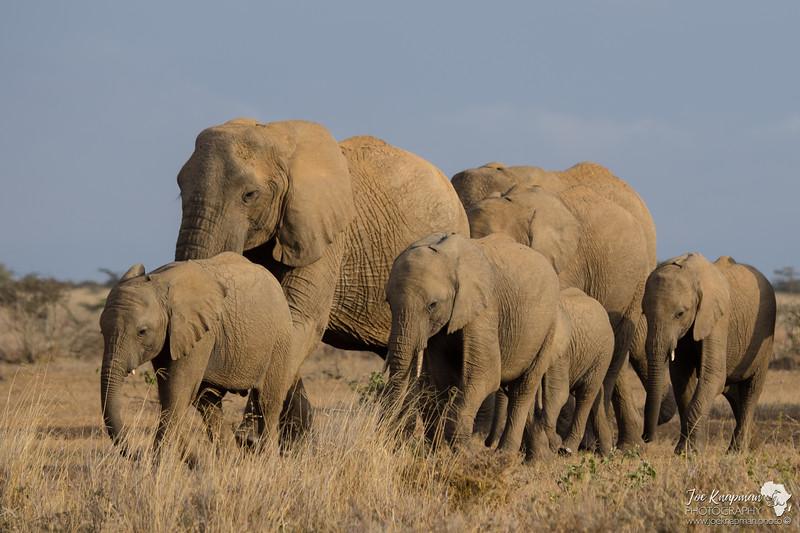 Herd Elephant 2