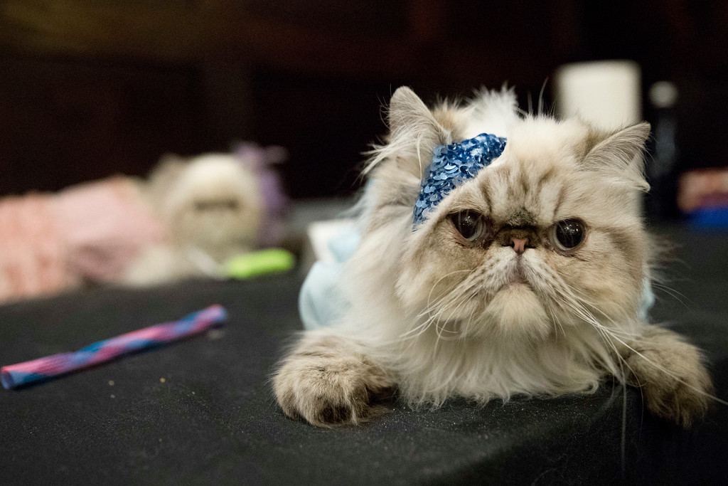 . In this Thursday, Aug. 2, 2018 photo, Aine, dressed as a flapper is seen backstage ahead of the cat fashion show at the Algonquin Hotel in New York. The Algonquin Hotel\'s annual feline fashion show was presided over by the historic Times Square establishment\'s 12th resident cat, a ginger boy with a theatrical name, Hamlet VIII. (AP Photo/Mary Altaffer)