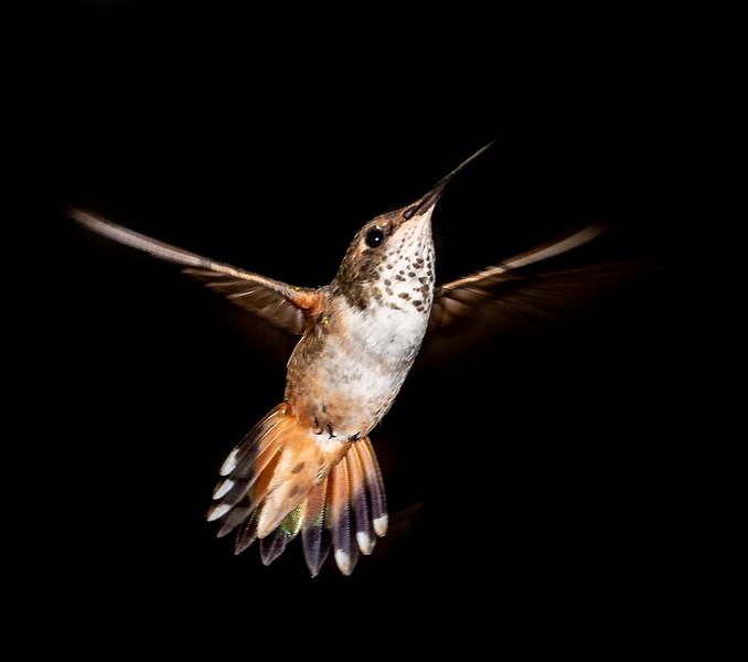 Hummingbirds-36.jpg
