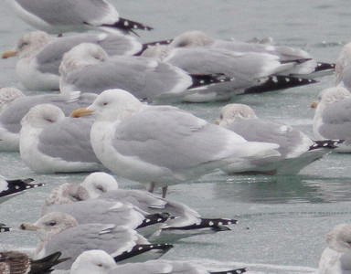 2013 Gulls - North Point Marina