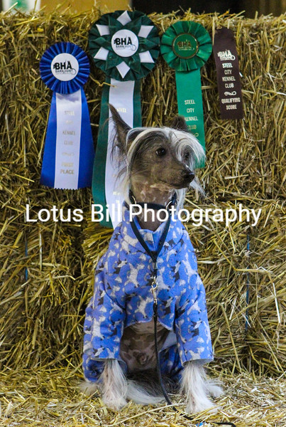 Chinese Crested (28 of 30).jpg