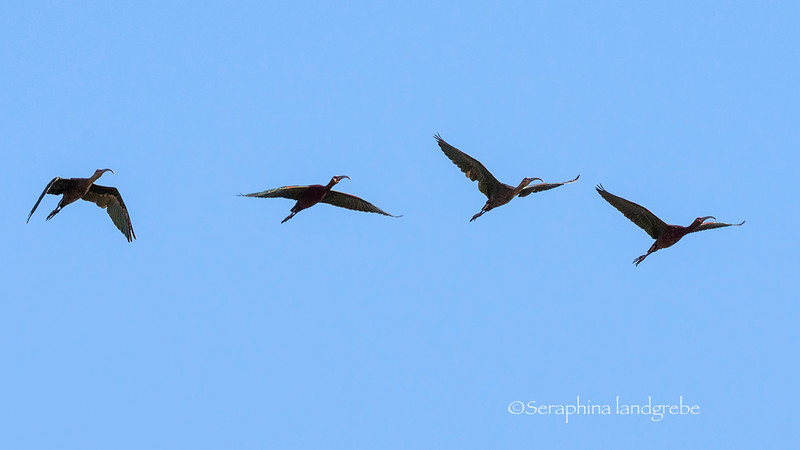 _DSC7210White Faced ibis.jpg