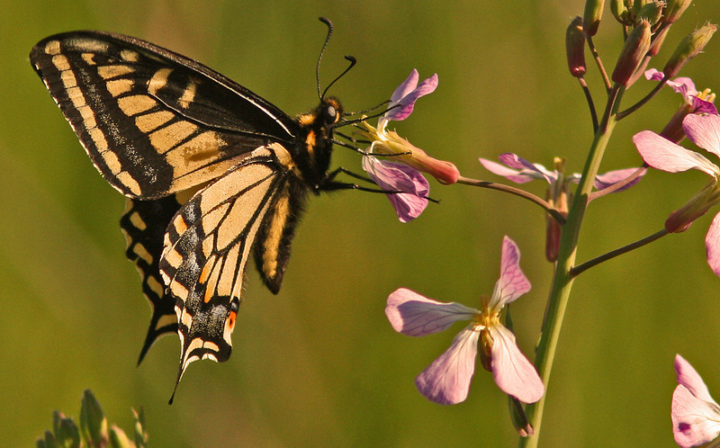 WB~Butterfly Anise Swallowtail1280.jpg