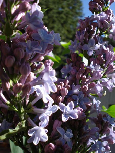 Lilac 05_21_2007
