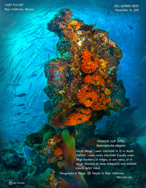 11.15.16 Orange cup coral scene .jpg