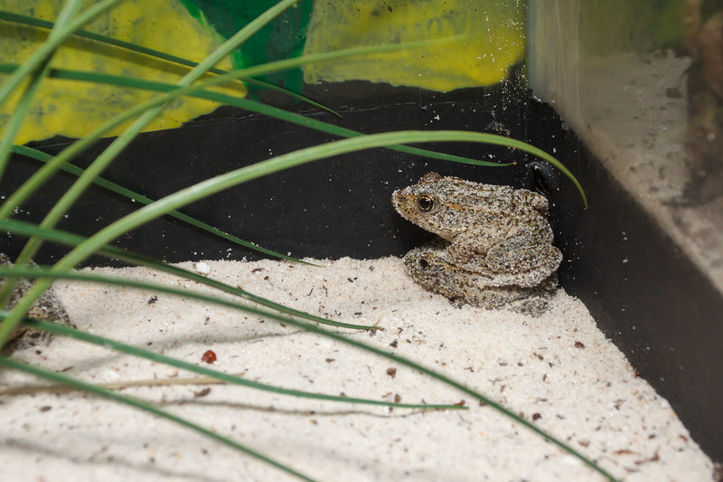 Gopher frogs