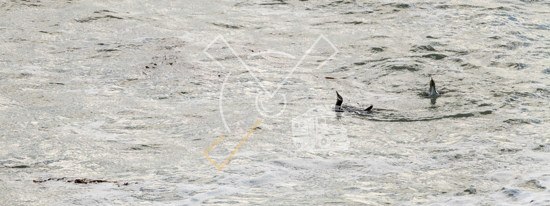 Yellow-eyed penguin couple swimming in the water and squawking at Bushy beach in New Zealand