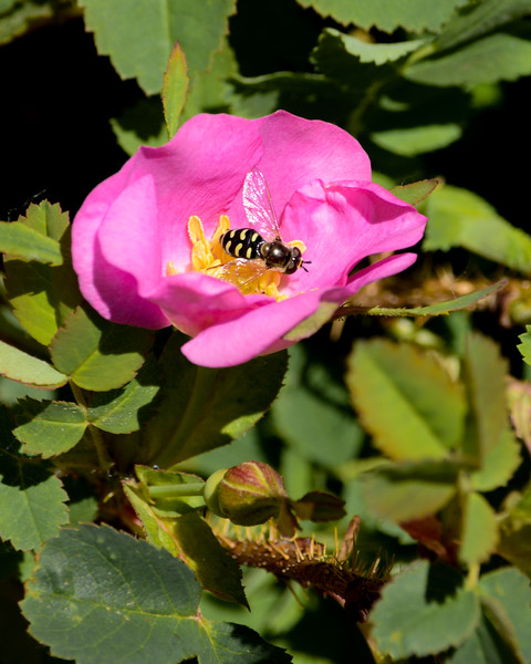 Wild Rose with Pied Hoverfly