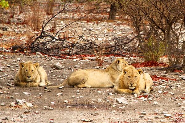 Spotting lions, Etosha Namibia