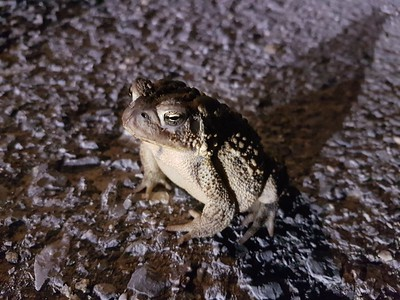 20180901 American Toad