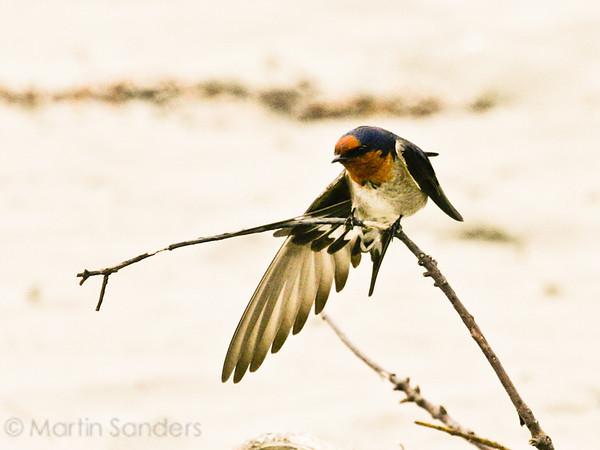 Swifts Swallows