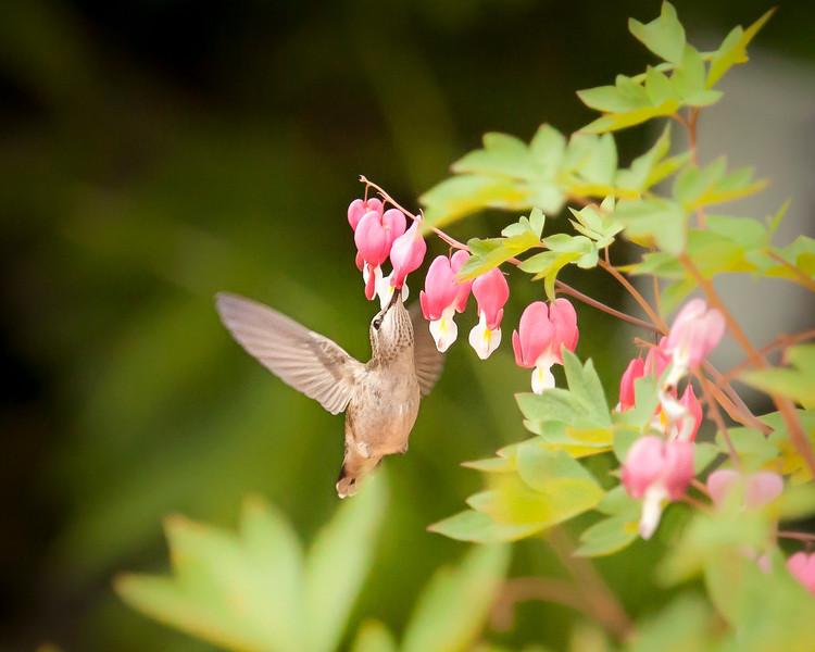 Hummingbird in flight-5183.JPG